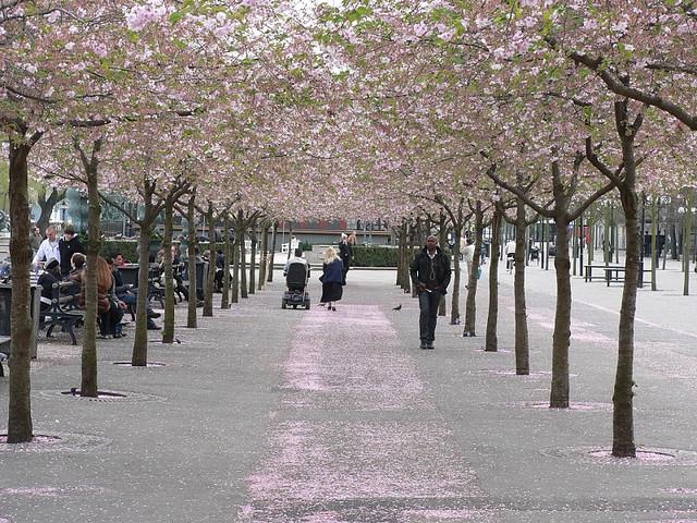 La storia del giardino dei ciliegi boffardi2.1